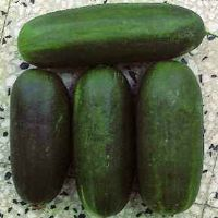Cucumber Along Medium Green Sel. Polignano