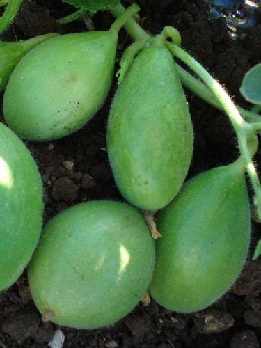 Carosello scopatizzo barese vendita semi sementi zagaria for Cetriolo tondo