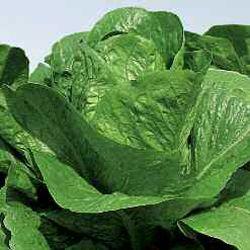 LA012 Lactuca Sativa 3000 Sementi Circa Semi Lattuga Romana Verde degli ortolani Semi agricoli Lattughe